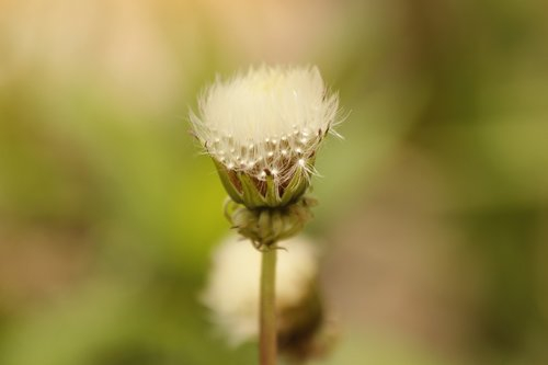 dandelion  bud  furry