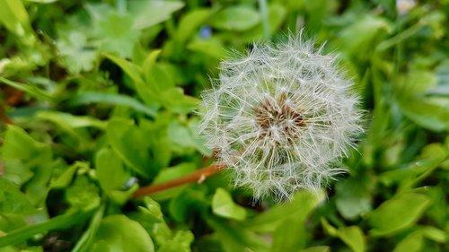 dandelion  natura  green