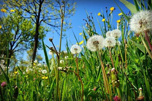 dandelion  puff ball  plant