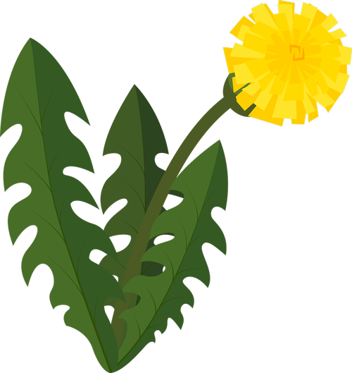 dandelion  blowball  flower