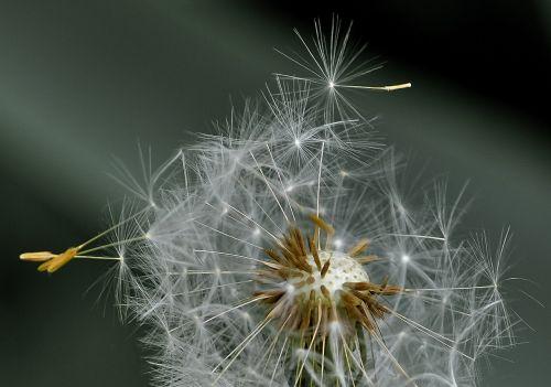 dandelion blowball seeds