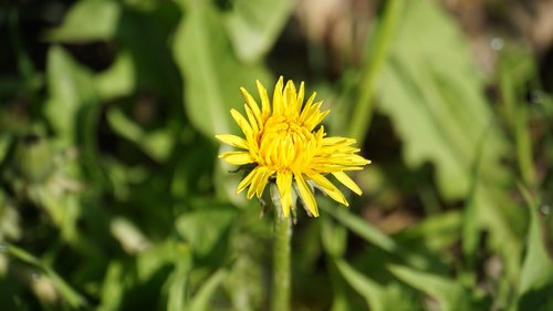 dandelion  plant  yellow