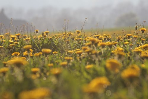 dandelion  field  nature