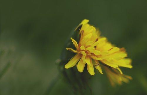 dandelion  common dandelion  taraxacum sect