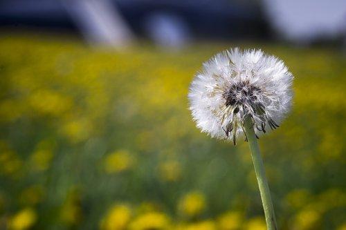 dandelion  meadow  spring