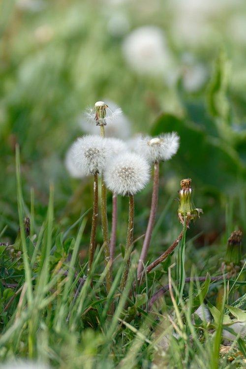 dandelion  dandelions  sonchus oleraceus