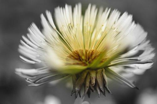 dandelion  dandelion flower  seeds