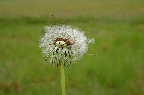 dandelion  meadow  nature