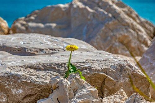 dandelion  lonely  survive