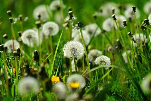 dandelion  puff ball  seed head