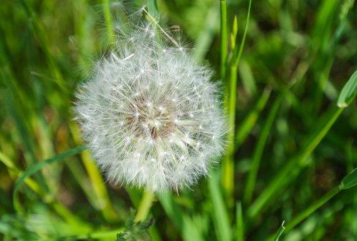 dandelion  seeds  seeds was