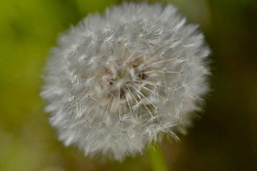 dandelion  lint  fluffy