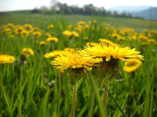 dandelion meadow yellow