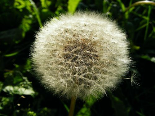 dandelion faded