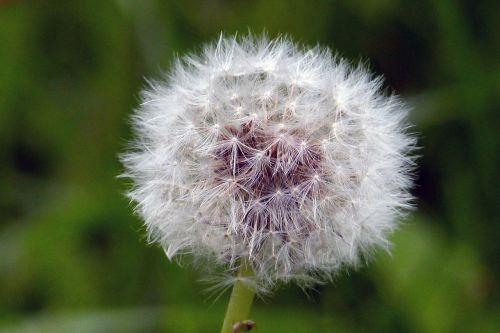 dandelion flower blowball