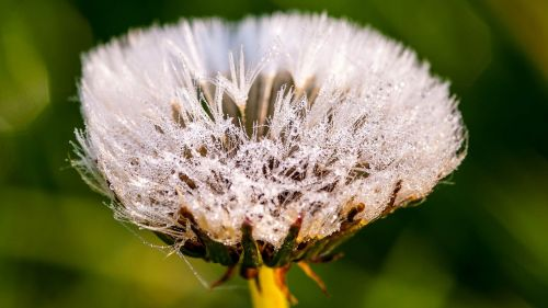 dandelion flower dew