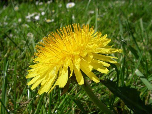 dandelion flower botany