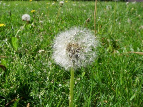dandelion seeds botany
