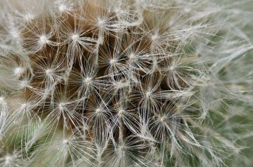 dandelion fluff detail