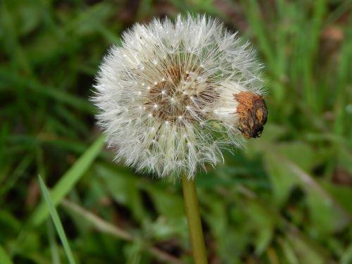dandelion fluff spring
