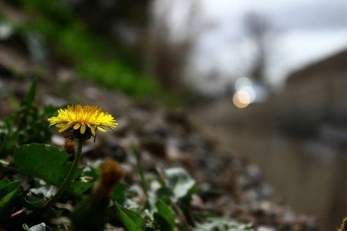 dandelion flower regular