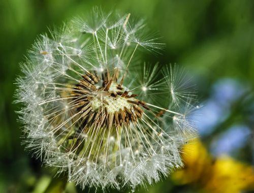 dandelion wind pointed flower