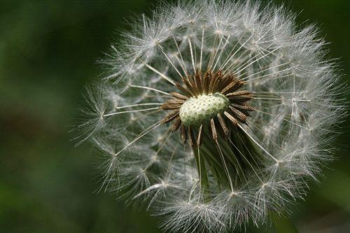 dandelion fluff seeds