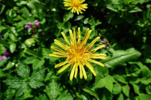 dandelion flower yellow