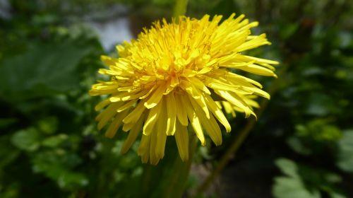 dandelion green yellow