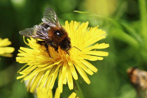 kiaulpienė,bičių žiedadulkės,žiedadulkės,apdulkinimas,vabzdys,bičių,Hummel,Uždaryti,žiedas,žydėti,gėlė,pieva,pabarstyti,pavasaris,aštraus gėlė,geltona,žydėti,pavasario gėlė