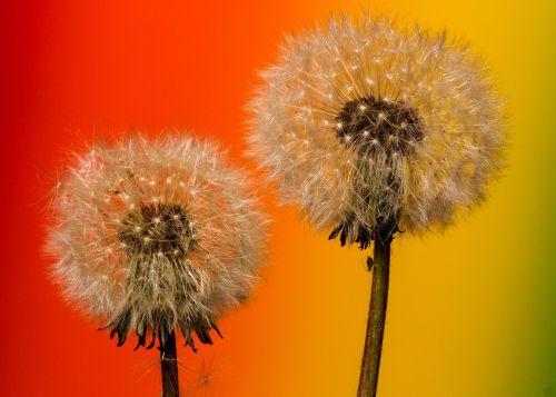 dandelion macro common dandelion