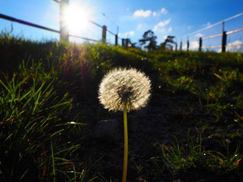 dandelion back light flying seeds