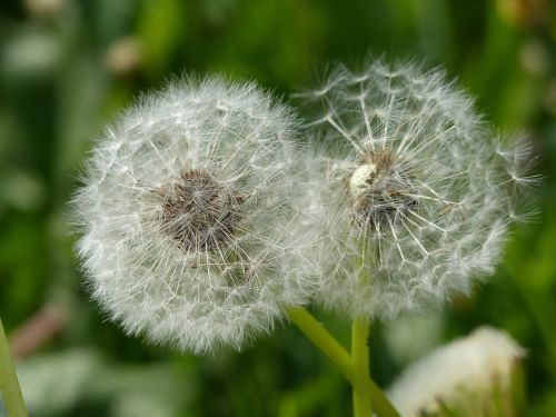dandelion flourished from close