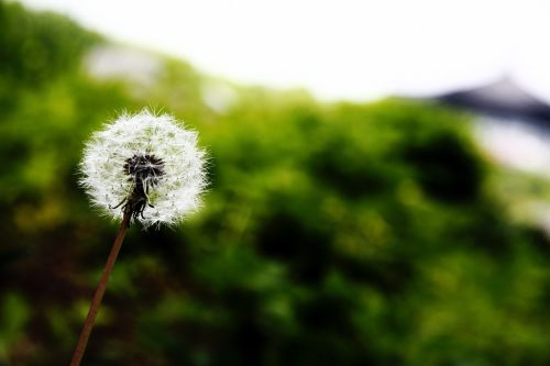 dandelion nature plants