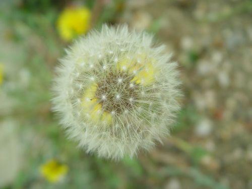 dandelion flowers nature