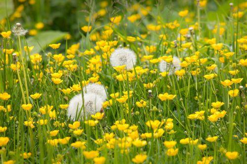 dandelion buttercup sharp buttercup
