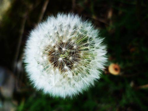 dandelion faded dandelion fluff