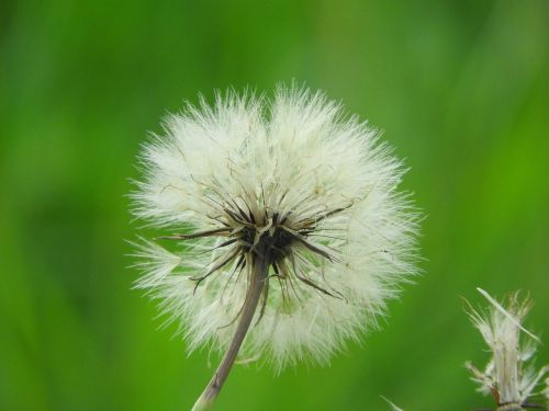 dandelion close pointed flower