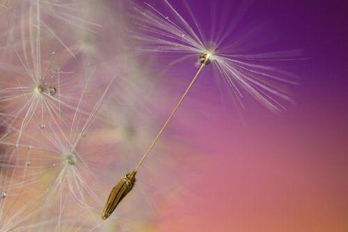 dandelion seed flower