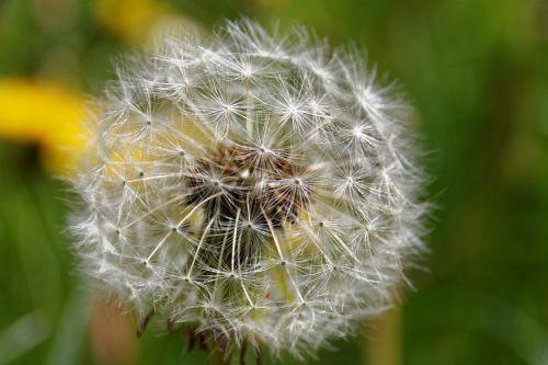 dandelion number of lion weed