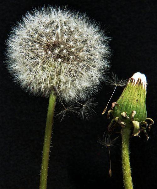 dandelion macro fragile