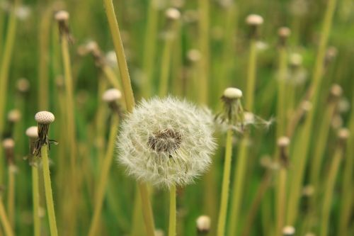 dandelion empty fluffy