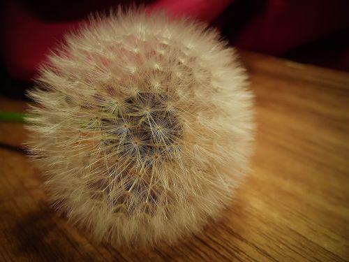dandelion seed taraxacum