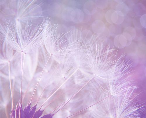 dandelion abstract purple