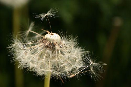 kiaulpienė,sėklos buvo,sėklos,skėtis,aštraus gėlė,Uždaryti,gamta,skraidančios sėklos,išblukęs,laukinės gėlės