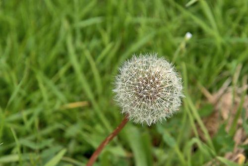 dandelion plant meadow