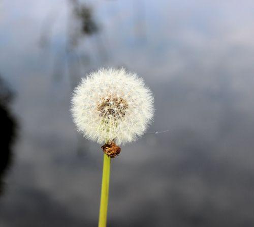 dandelion overblown fluff