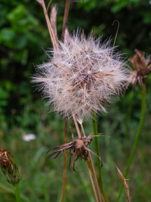 dandelion clock  blow  flower