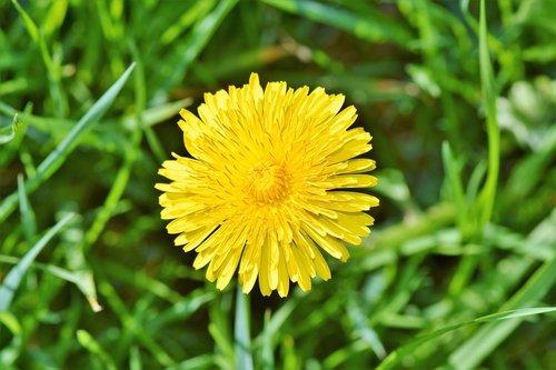 dandelion flower  dandelion  flower