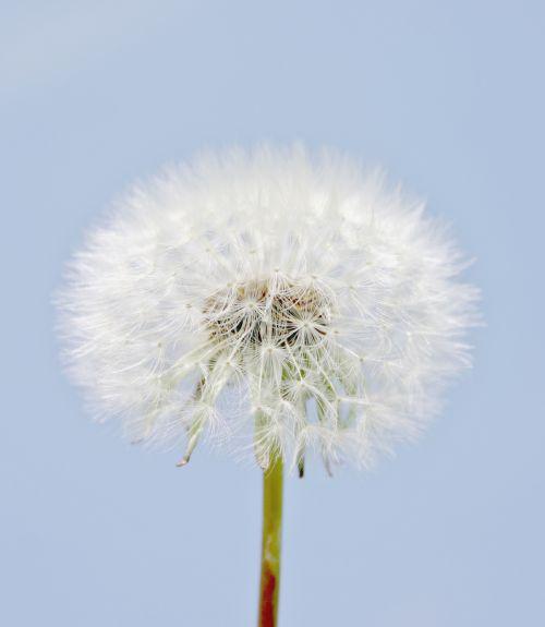 Dandelion Flower Seed Head